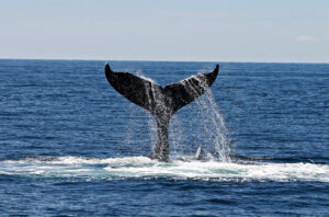 whale watching in struisbaai and cape agulhas